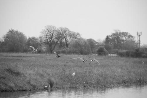 Ducks flying just a few feet above a lake